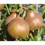 Birne (Pyrus communis) UTA®