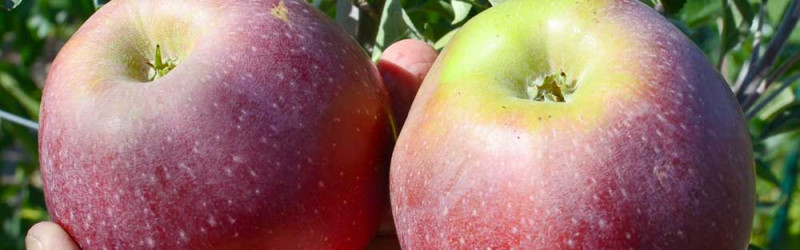 A collection of resistant Russian apple varieties