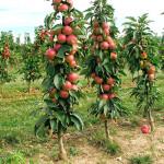 Apple (Malus domestica) ARKAIM - Columnar Tree