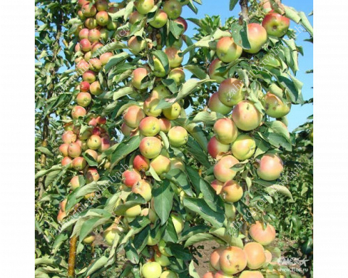 Apple (Columnar) GIRLANDA - available from March 01
