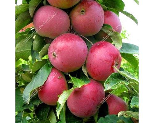 Apple Columnar (Malus domestica) GOTIKA