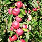 Jabloň (Malus domestica) JESENIJA (stĺpová)