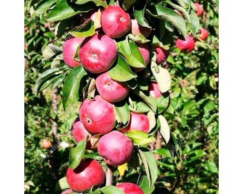Apple Columnar (Malus domestica) JESENIA