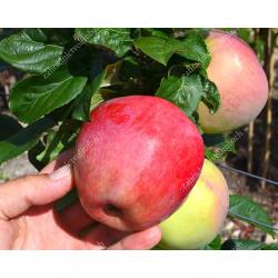 Apple (Malus domestica) YUBILEY MOSKVY