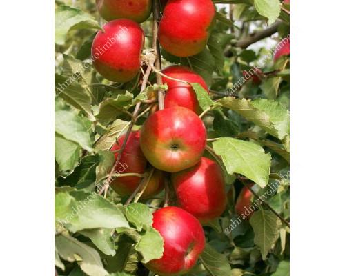 Apple (Malus domestica) KORNET - Columnar Tree