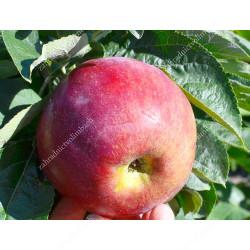 Apple (Malus domestica) ORLIK