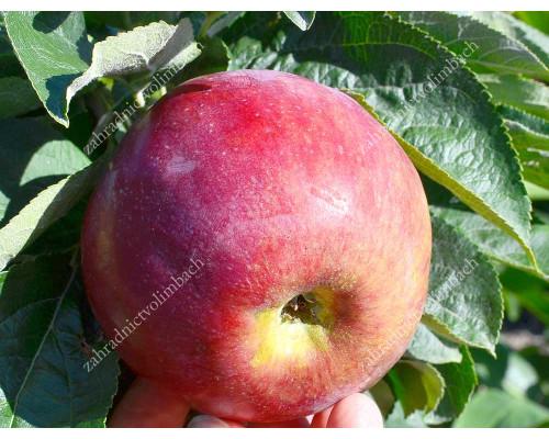 Apfel (Malus domestica) ORLIK