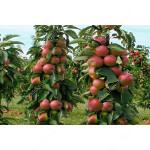 Apple (Malus domestica) PRIOKSKOYE - Columnar Tree