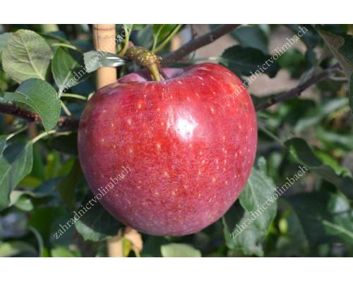 Apfel (Malus domestica) REMO®