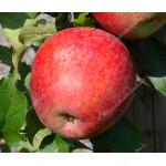 Apfel (Malus domestica) REWENA®