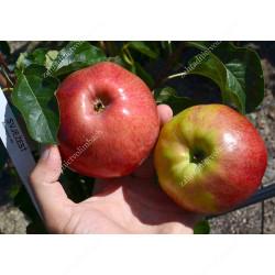 Apple (Malus domestica) SVYEZHEST