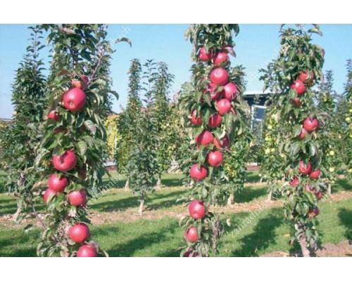 Apple (Malus domestica) TRIUMF - Columnar Tree