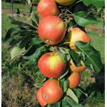 Apple (Malus domestica) VOSTORG - Columnar Tree