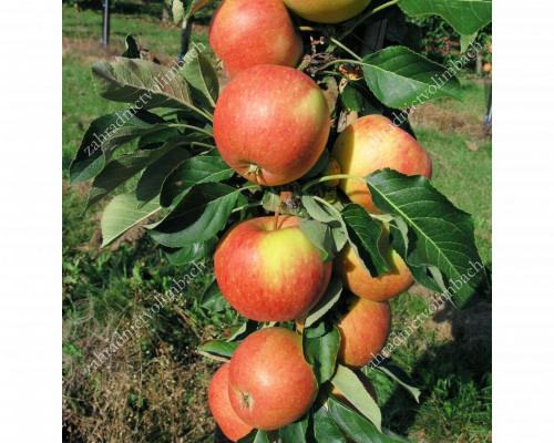 Apple Columnar (Malus domestica) VOSTORG