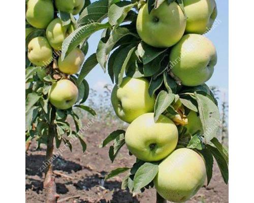 Jabloň (Malus domestica) ZELENYJ ŠUM (stĺpová)