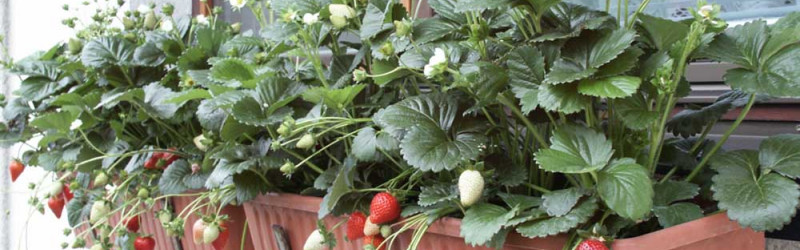 Everbearing strawberries work well in window boxes