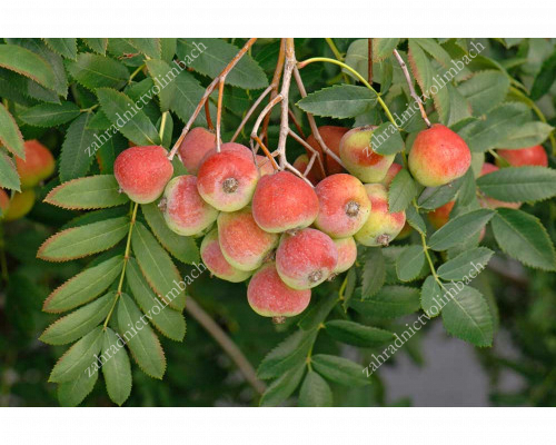 Service Tree (Sorbus domestica) SOSSENHEIMER RIESEN