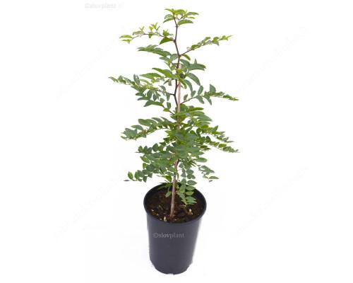 Jujube Tree (Ziziphus spinosa) one year old seedling