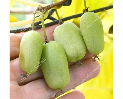 Kiwi Plant (Actinidia arguta) JUMBO Hardy