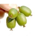 Kiwi (Actinidia arguta) VITIKIWI™