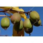 Kiwi Plant WEIKI Hardy Actinidia arguta