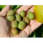Kiwi (Actinidia arguta) WEIKI