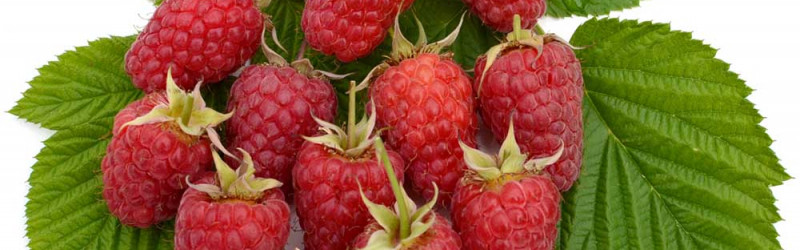 Raspberries can be cultivated nearly in all areas