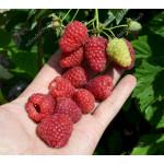 Raspberry BENEFIS