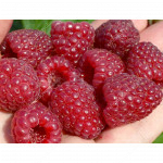 Himbeere (Rubus idaeus) ELIDA®