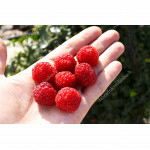 Himbeere (Rubus idaeus) GERAKL