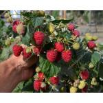 Himbeere (Rubus idaeus) HIMBO-TOP®
