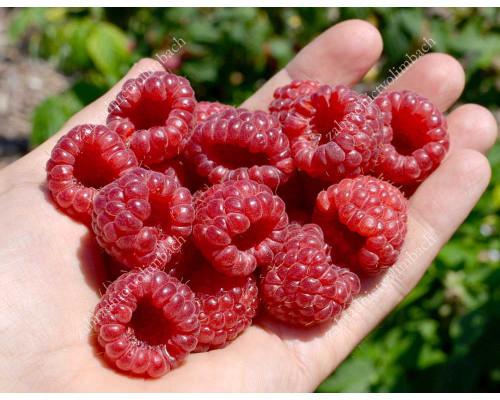 Himbeere (Rubus idaeus) RUBYFALL(S)