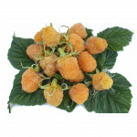 Raspberry (Rubus idaeus) ZHOLTY GIGANT