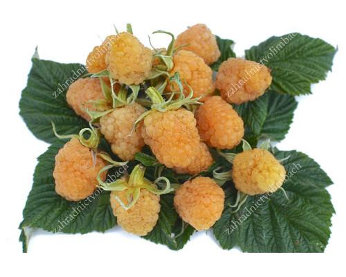 Himbeere (Rubus idaeus) SCHOLTY GIGANT