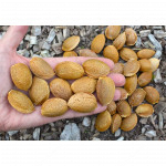 Almond Tree (Amygdalus communis) FERRADUEL