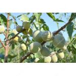 Mandel (Prunus amygdalopersica) ROBIJN