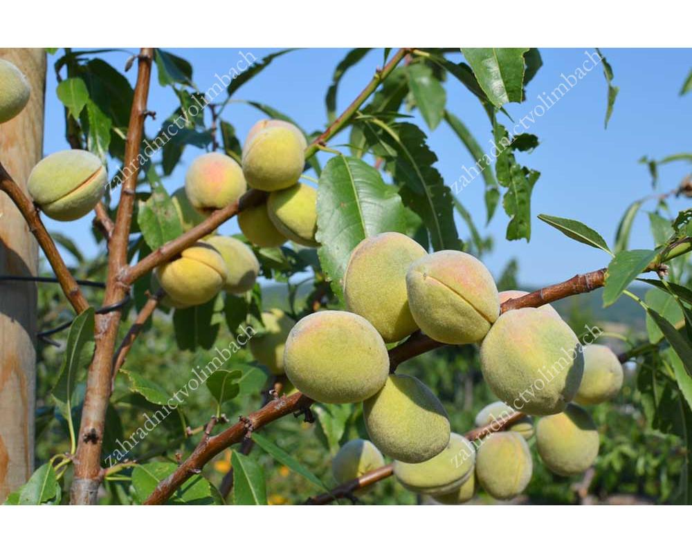 Robijn Almond X Peach Hybrid Tree