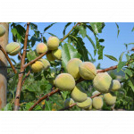 Mandľa hybridná (Prunus amygdalopersica) ROBIJN