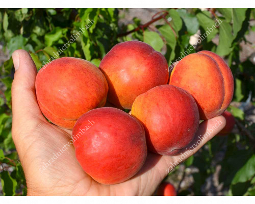 Apricot (Prunus armeniaca) AMIRAL - available from May 15