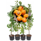 Columnar Apricot, Peach and Nectarine