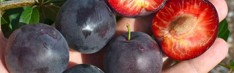 Apricots Ripening Chart