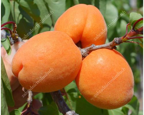 Aprikose (Prunus armeniaca) CLARINA (S)