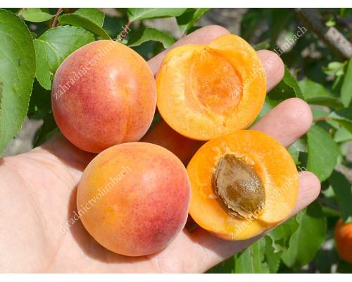 Marhuľa (Prunus armeniaca) EARLY ORANGE
