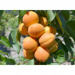 Aprikose (Prunus armeniaca) COMPACTA®