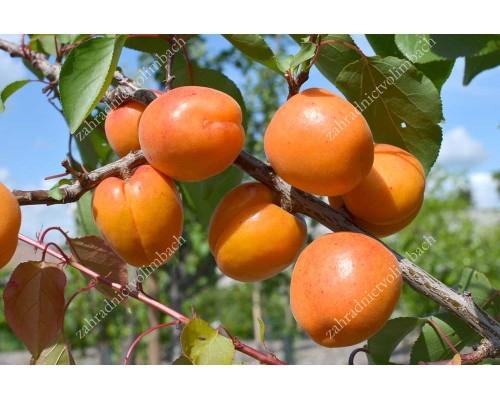 Marhuľa (Prunus armeniaca) NASLAŽDENIE