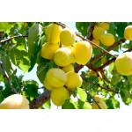 Apricot (Prunus armeniaca) SHALAKH - pineapple apricot