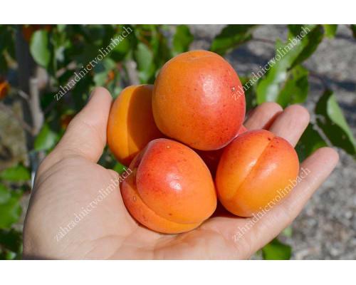 Marhuľa (Prunus armeniaca) SPRING BLUSH®