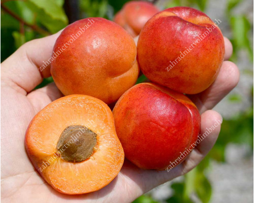 Apricot SWEETRED®