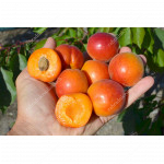 Marhuľa (Prunus armeniaca) TSUNAMI®