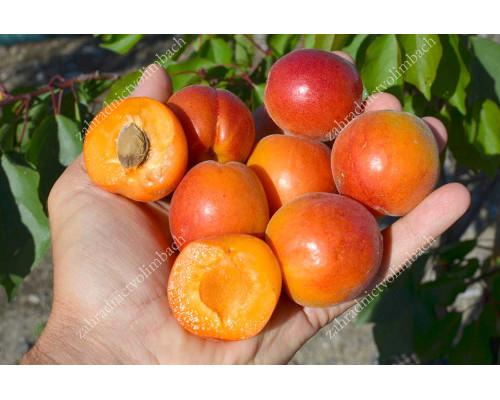 Aprikose (Prunus armeniaca) TSUNAMI®